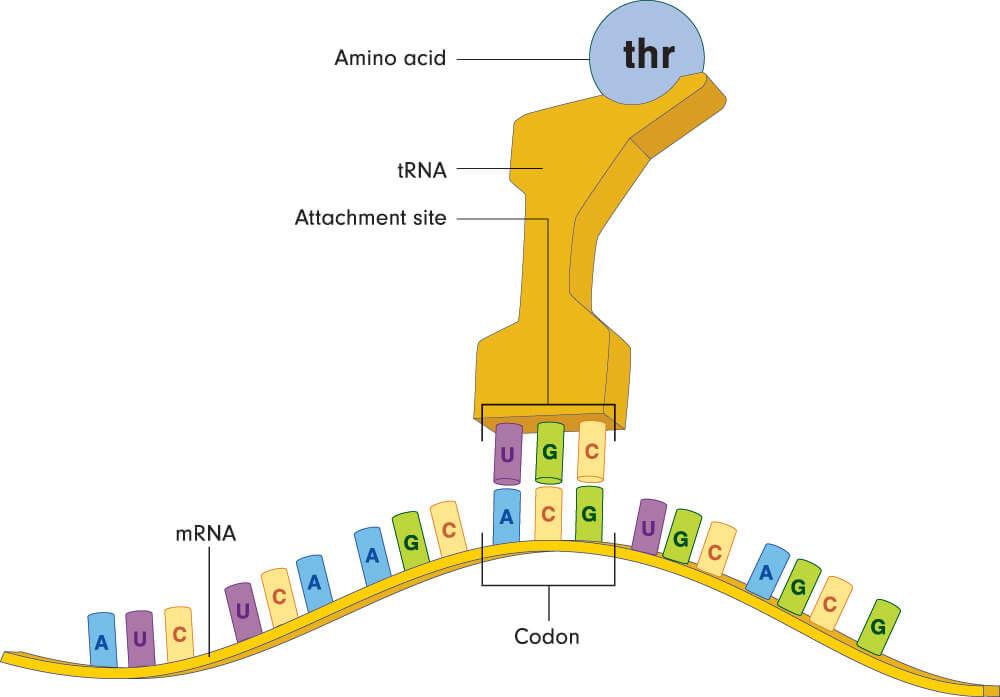 stop codon transfer RNA amino acid nucleotide bases anticodon