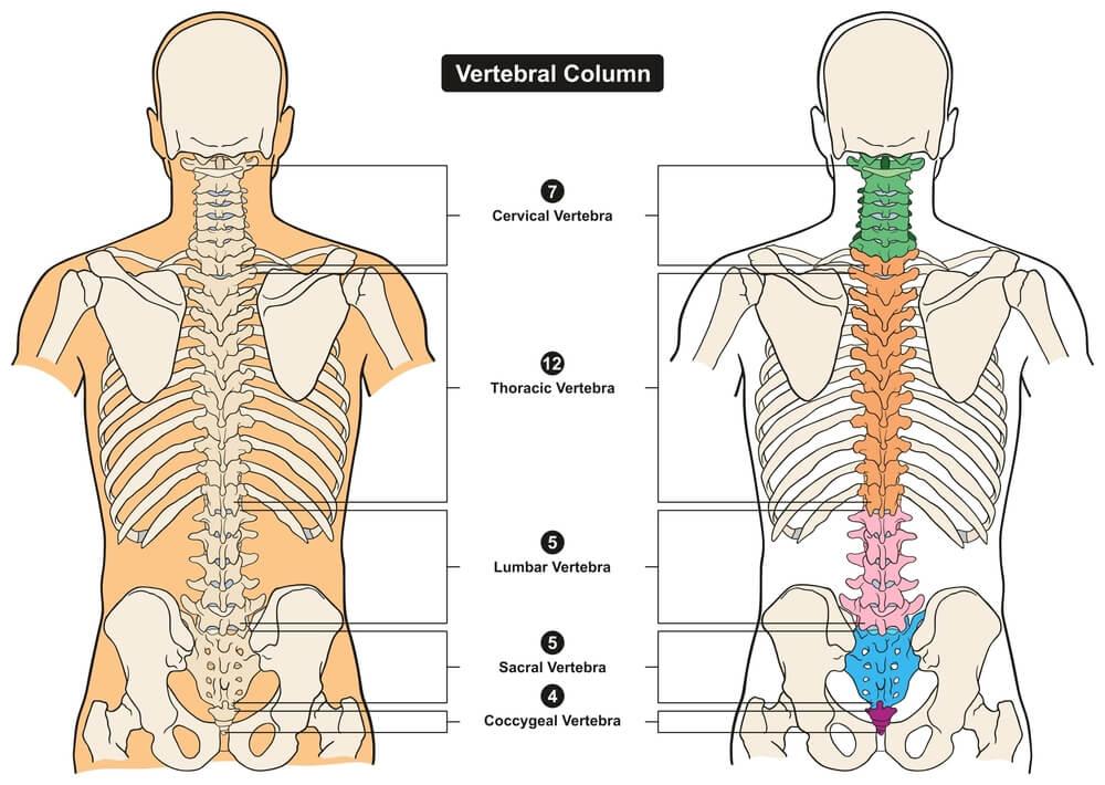 vertebral column spine vertebrae cervical thoracic lumbar