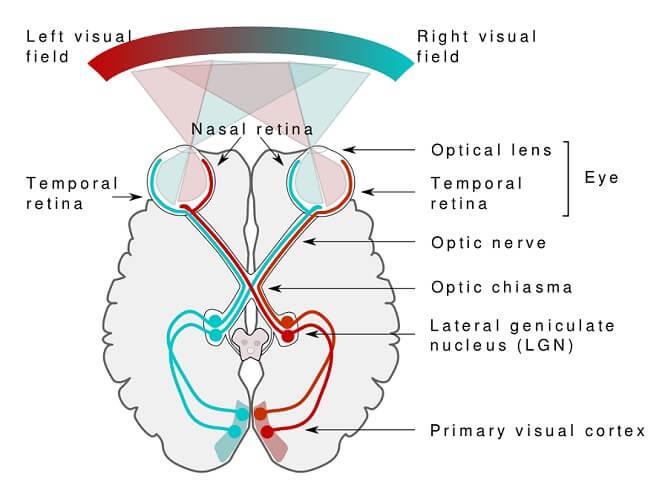 visual pathway occipital lobe retina vision sight