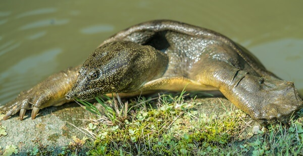 Chinese softshell turtle on land with water in the background.