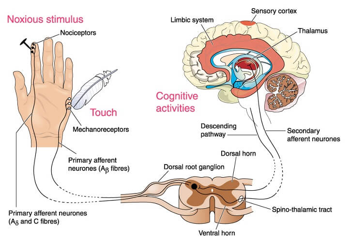 The cell bodies of sensory neurons are located in the dorsal root ganglia