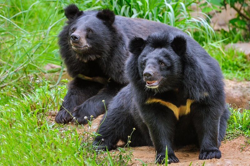 Two bears wait for a trainer to throw them treats.