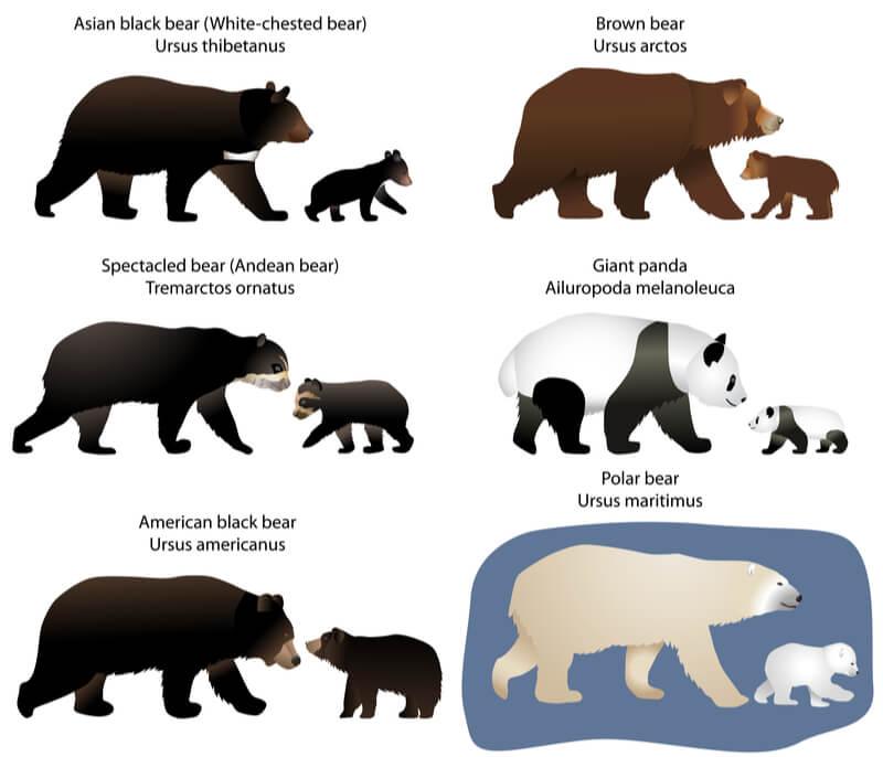 Asian black bears, or moon bears, are slightly smaller than American black bears