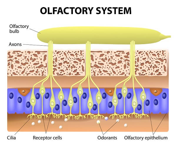 The olfactory system relies on sensory neurons