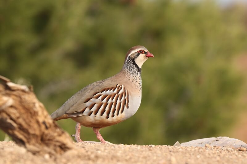 Partridges take on a variety of colors and forms, with over 40 different species occupying a range of habitats.