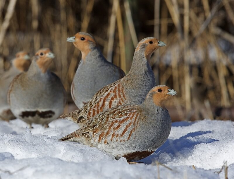 A group of partridges sneak through the underbrush, avoiding predators.