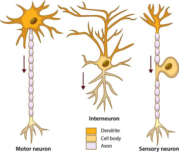 Three types of neurons: motor neurons, interneurons, and sensory neurons