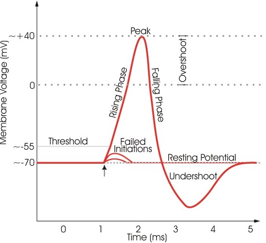 action potential graph voltage depolarization repolarization resting threshold