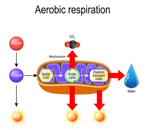 Stepwise process of aerobic respiration from glucose to water, highlighting where ATP is produces