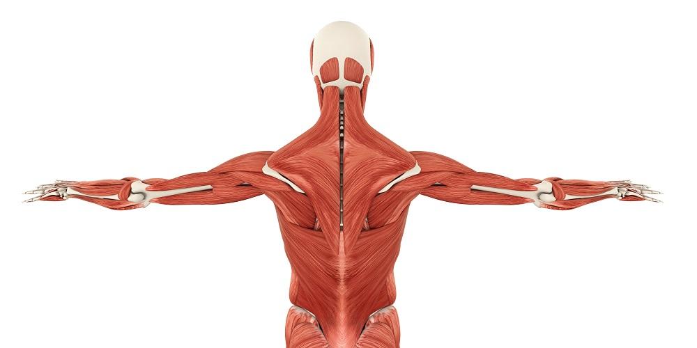 muscles back shoulder flank arms neck