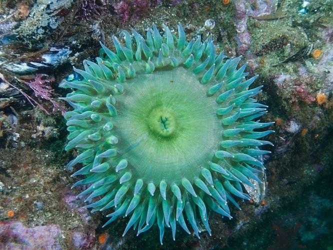batstar radial symmetry sea anenome