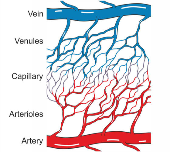Labels vessels showing the connection between veins, venules, capillaries, arterioles, and arteries