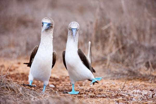 Two blue-footed booby birds during a mating ritual