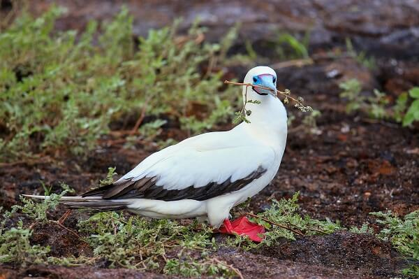 A red-footed booby bird on land