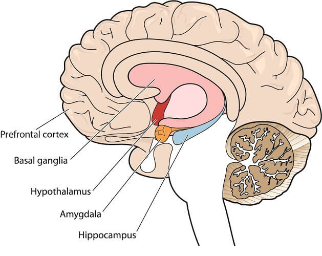 Brain structures involved in explicit memory