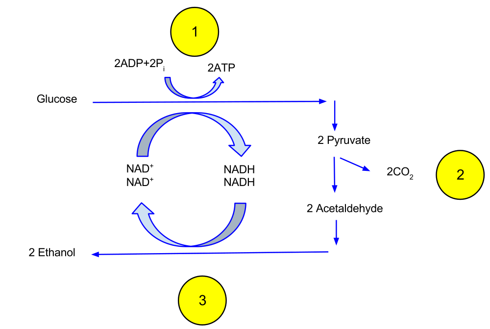 Stepwise process of ethanol fermentation showing key molecular formation and significant waste products