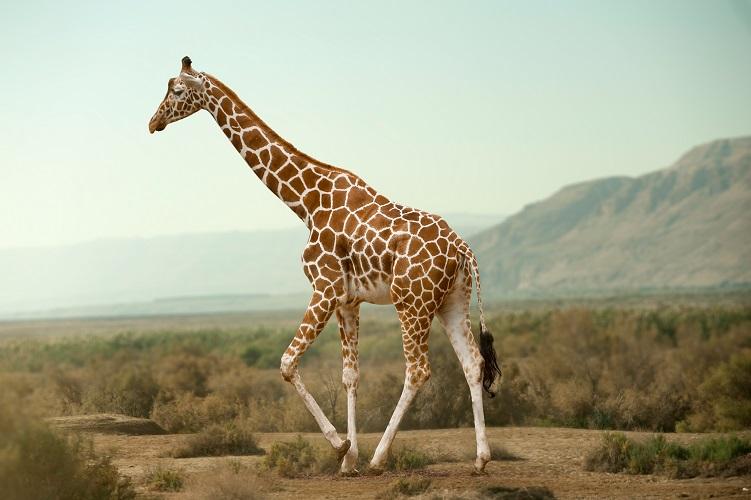 giraffe neck anatomy ligament