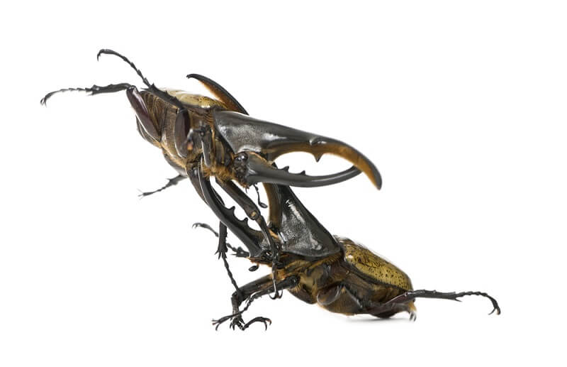 A Hercules Beetle lifts its opponent off the ground, in an effort to gain sole access to the female present.