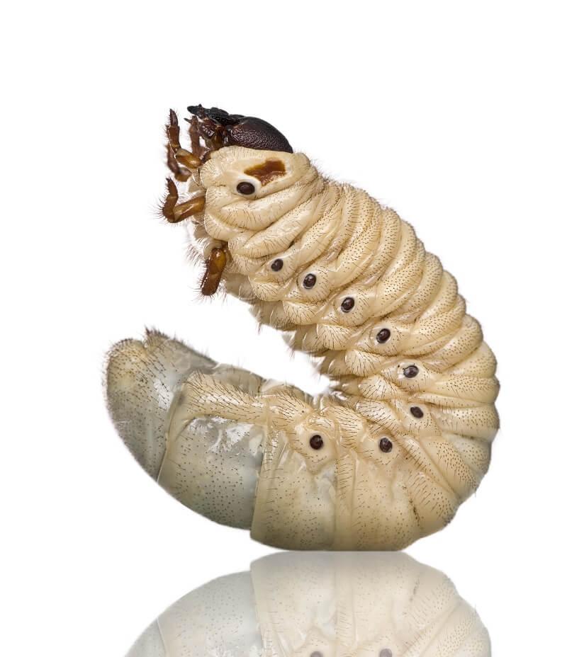 This Hercules Beetle larvae is getting ready to pupate.