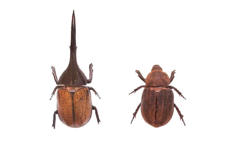 """Male and female Hercules beetles are sexually dimorphic - females do not have the iconic """"horns""""."""