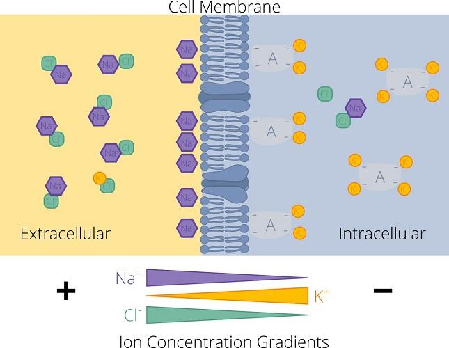 ion distribution concentration gradient cell membrane