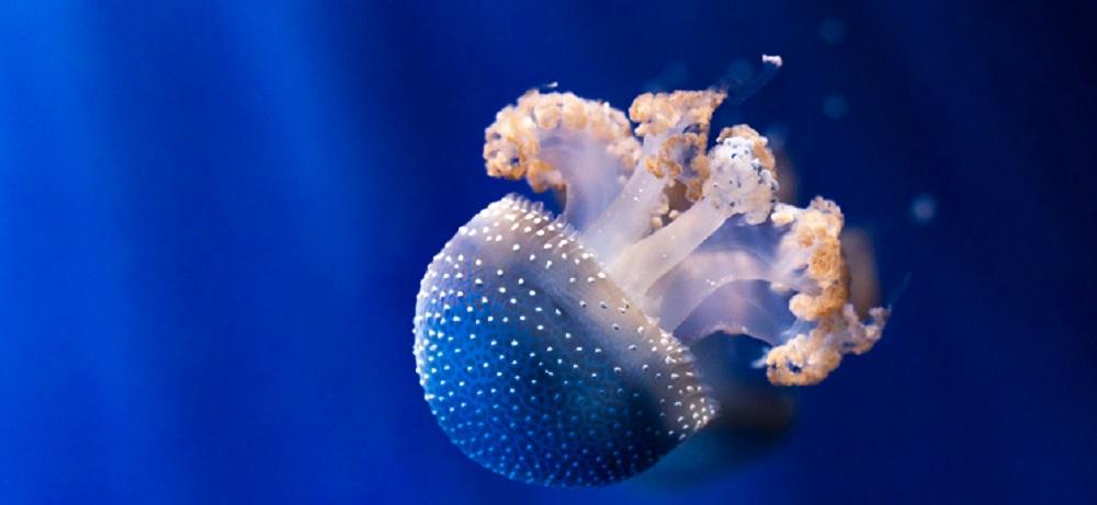 jellyfish radial symmetry medusa tentacles