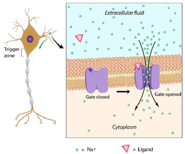 node of ranvier action potential myelinated myelin schwann cell