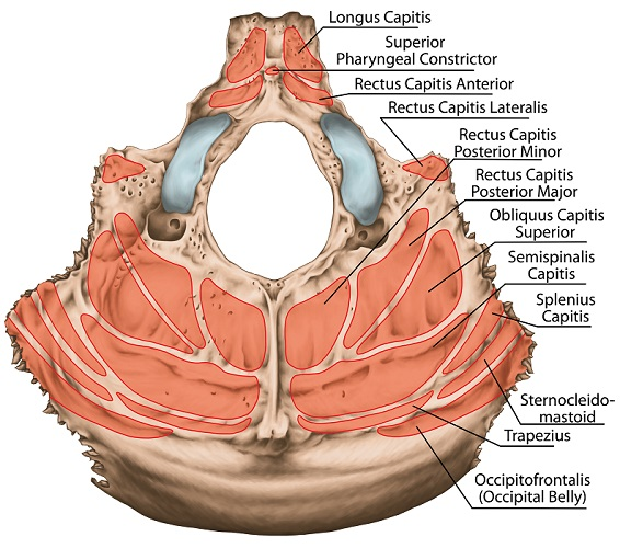 Occipital Bone The Definitive Guide Biology Dictionary Of, relating to, or being a synchondrosis. occipital bone the definitive guide