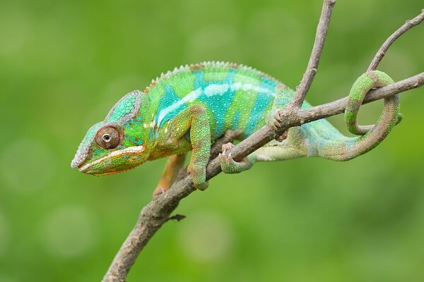 A panther chameleon using its tail to help provide support while on a branch