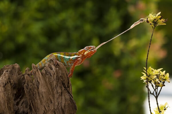 panther chameleon catching a mantis
