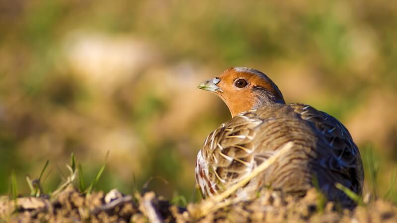 A wild partridge hides on the ground.