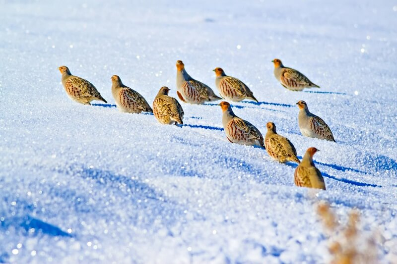 These partridges make their way through the snow, avoiding predators and searching for bits of food.