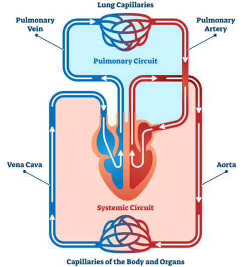 Labels vessels indicating the separation of the pulmonary and systemic circuits