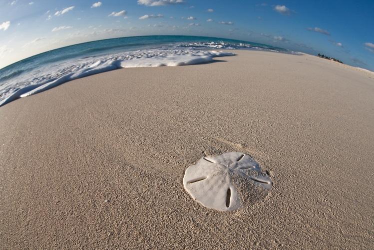 sand dollar radial symmetry marine
