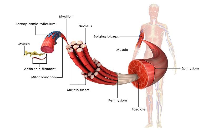 skeletal muscle myocytes fibers anatomy actin myosin