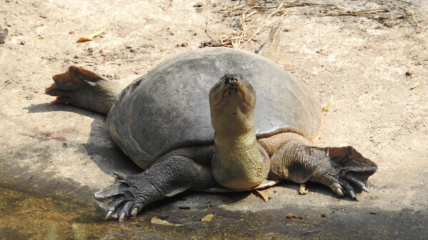 Spiny softshell turtle on land
