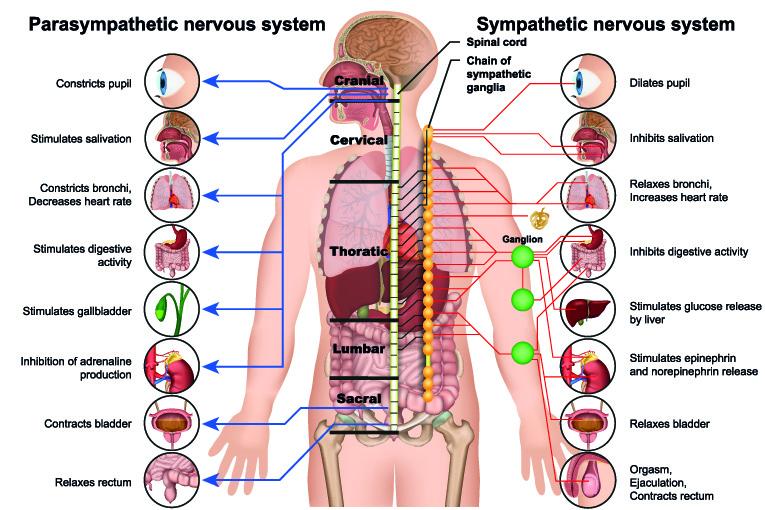 sympathetic parasympathetic nervous system unconditioned responses