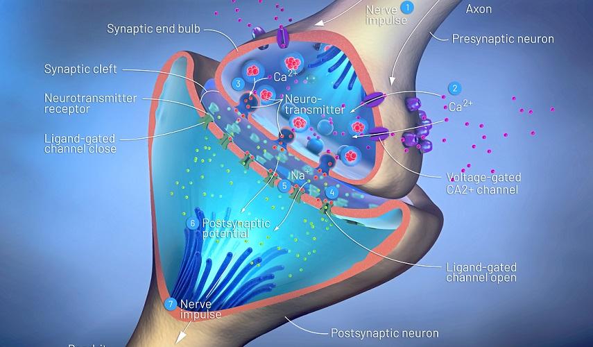 synapse neurotransmitter action potential nerve neuron gap