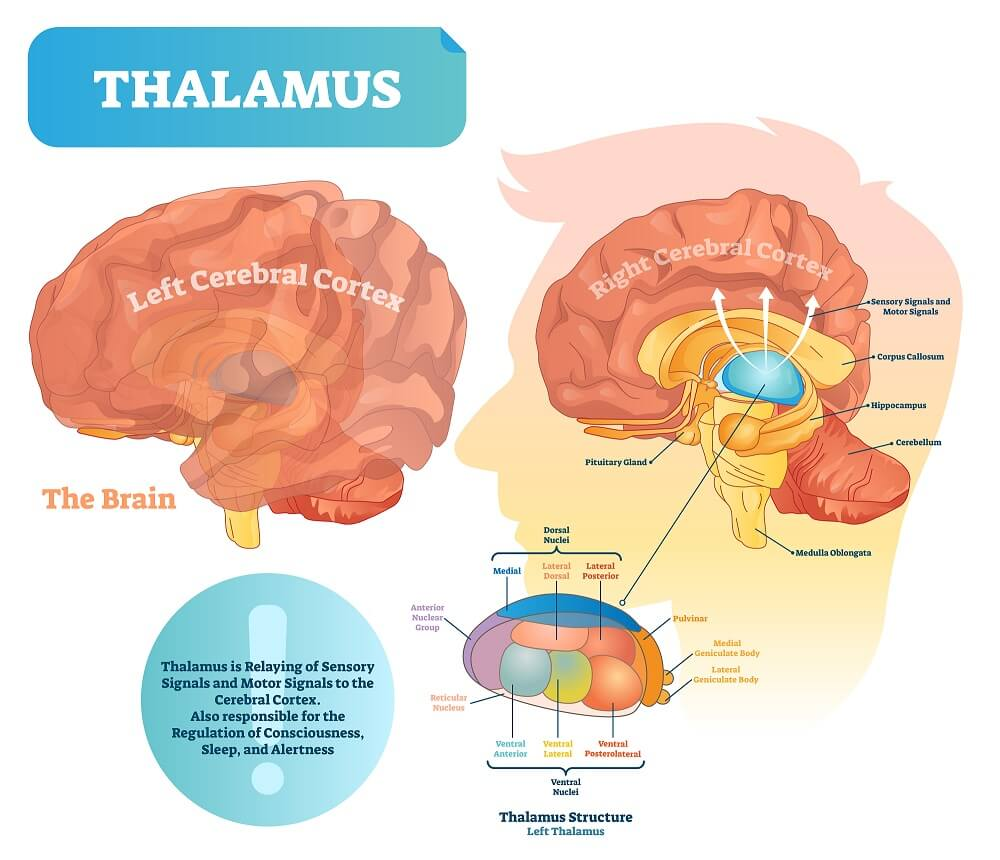 Structure and function of the thalamus