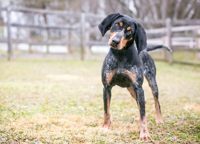 The bluetick coonhound has a distinctive black, tan, and gray coloration with mottling.