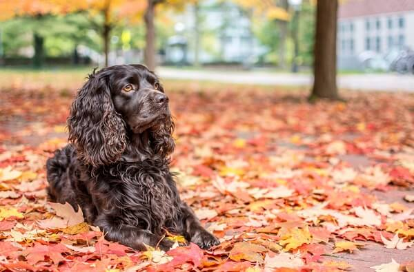 A Boykin spaniel waits patiently for its owner to tell it which direction to search for game.
