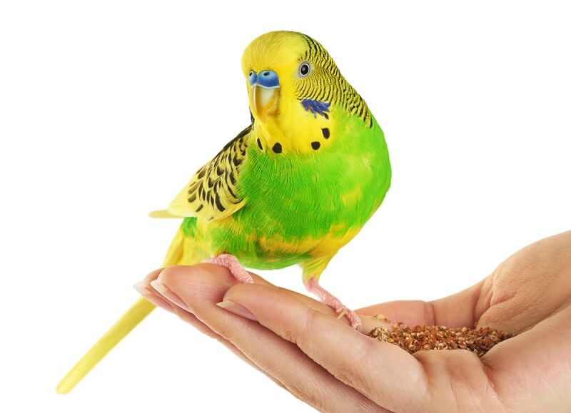 A budgie sits in its owner's hand, eating seeds.