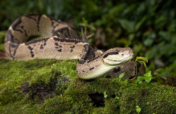 The bushmaster is the largest species of pit viper, and it can reach lengths of over 12 feet long!