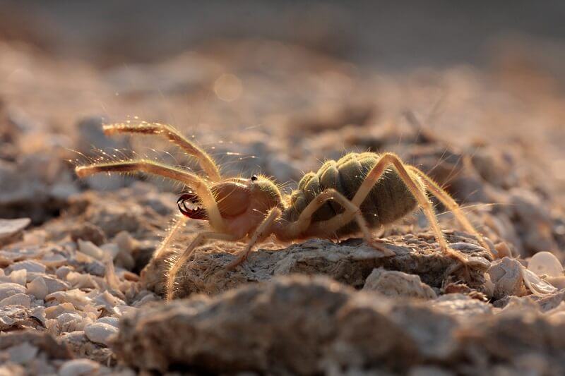 A camel spider lifts its pedipalps into the air, searching for any prey items it might encounter.