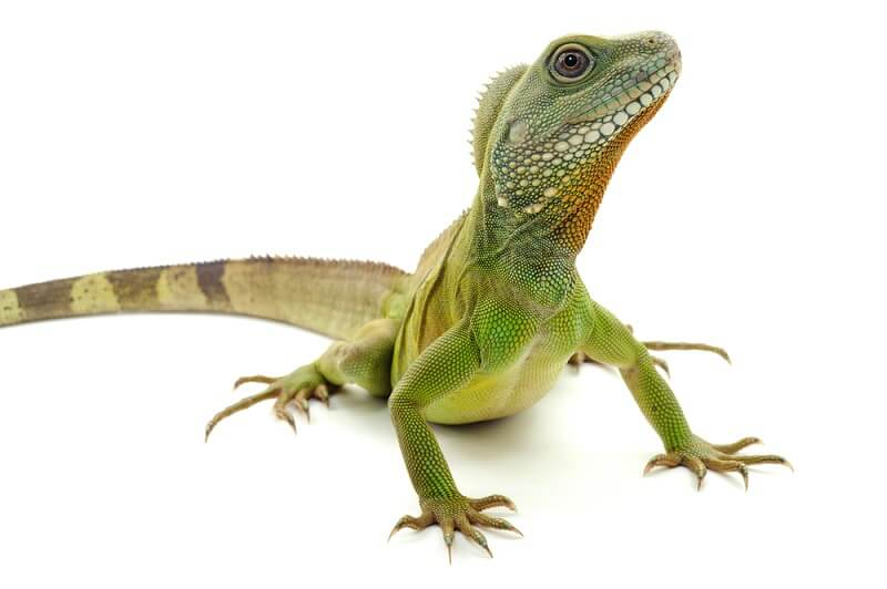 The Chinese water dragon has a much more green coloration and is slightly smaller than the Australian water dragon.