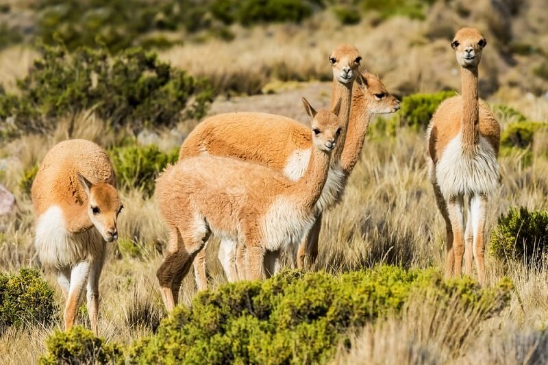 A herd of vicuñas moves through the scrubby grassland of the central Andes.