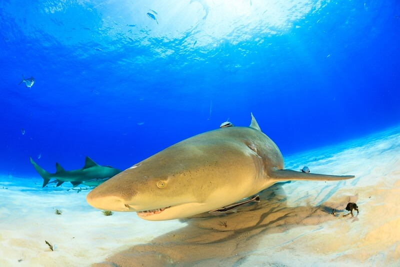 A lemon shark swims quietly along the bottom, searching for prey.
