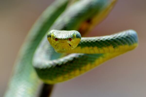 Pit vipers have pits on their face they use to detect prey, as well as venomous fangs.