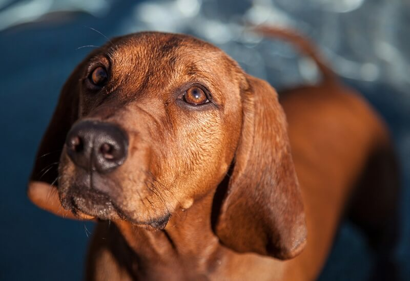 The redbone coonhound has a distinct reddish coloration and mellow disposition.