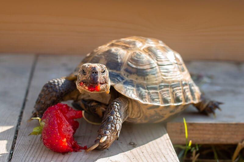 A tortoise eats a strawberry, gaining nutrients and much-needed water in a desert environment.